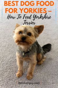 Best Dog Food For Yorkies – How To Feed Yorkshire Terrier