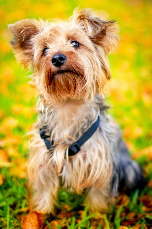 Best Dog Food For Yorkies How To Feed Yorkshire Terrier