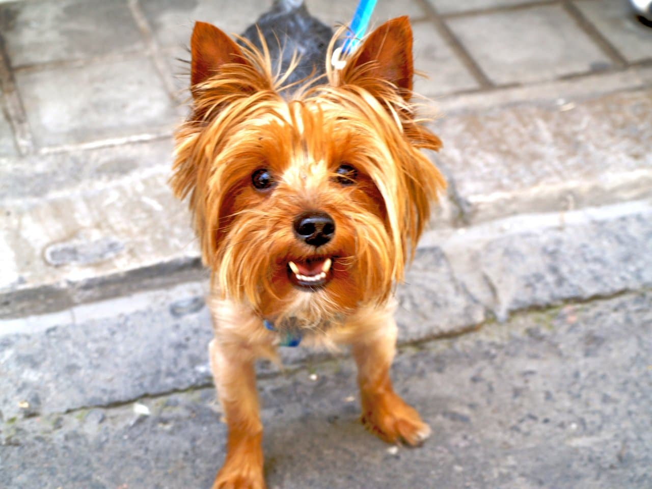 Best Dog Food For Labs >> Best Dog Food For Yorkies - How To Feed Yorkshire Terrier