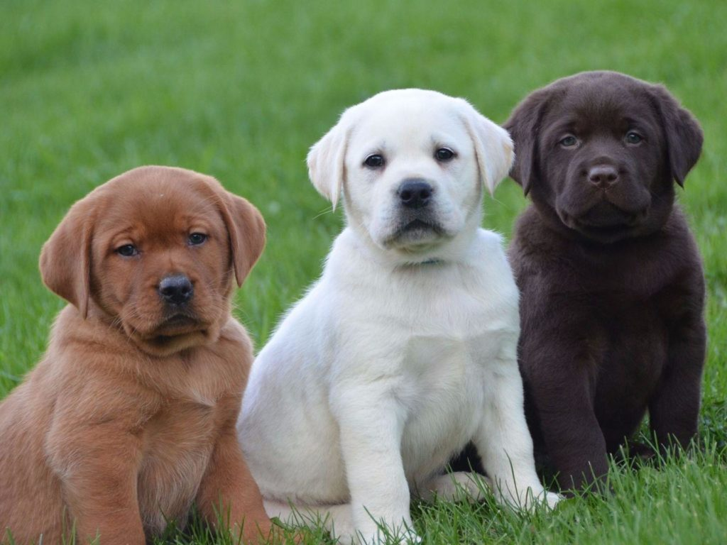 Best Puppy Food For Labs - The Ultimate Buying Guide [2017] for Lab Dog Puppy Price  177nar