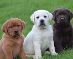 Best Puppy Food for Labs