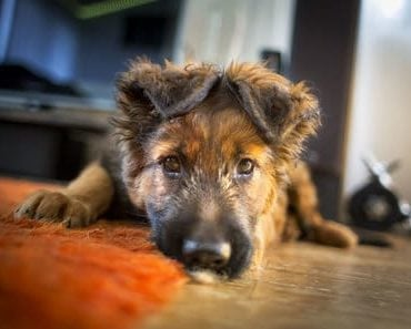 best dog food for german shepherd puppy