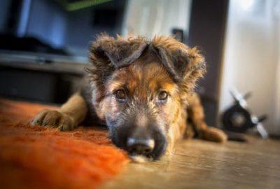 best dog food for german shepherd puppy