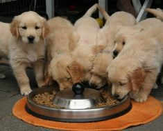 Nutrition Tips For Your Dog's Optimal Health
