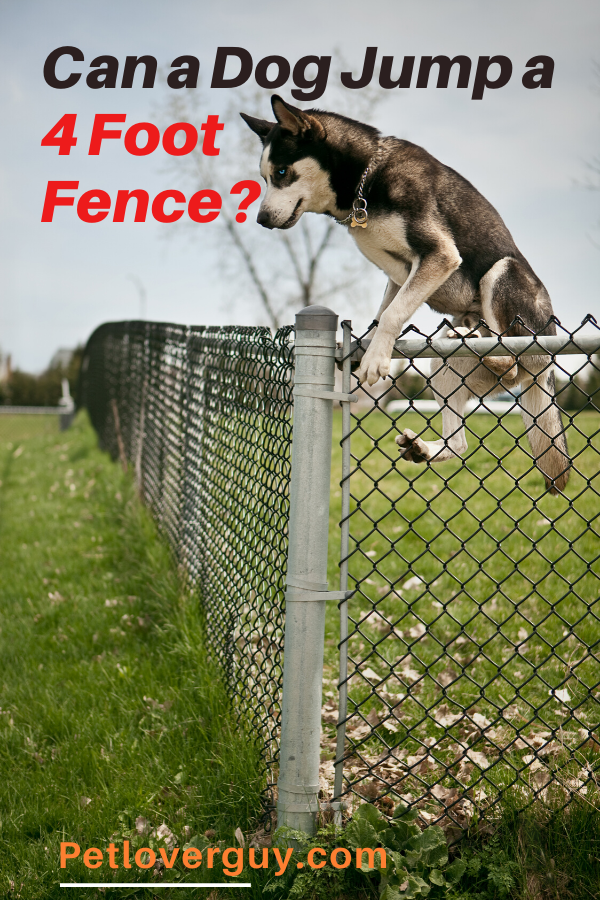 Can a Dog Jump a 4 Foot Fence?