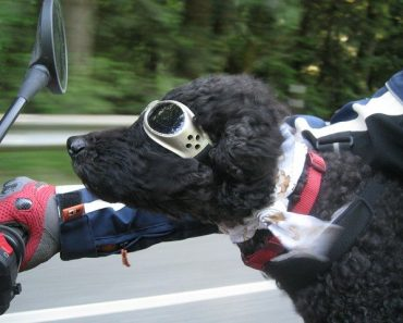 dog harness for motorcycle