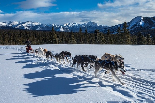 dog harness to pull sled