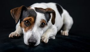 no pull harness for jack russell