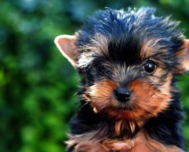 best no pull harness for yorkie