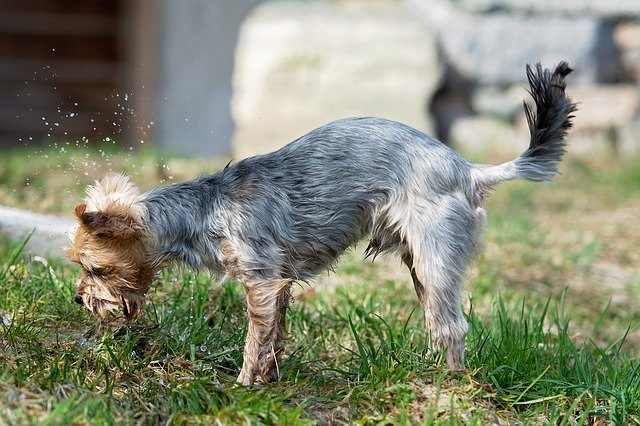 best shampoo for a yorkie