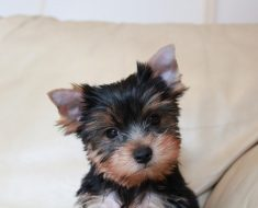 best dog food for yorkie puppy