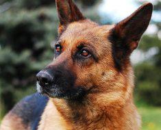 dog food german shepherd skin allergies