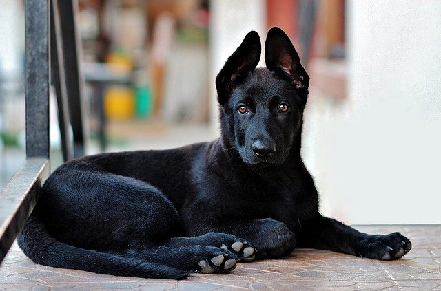german shepherd pup looking attentive and smart