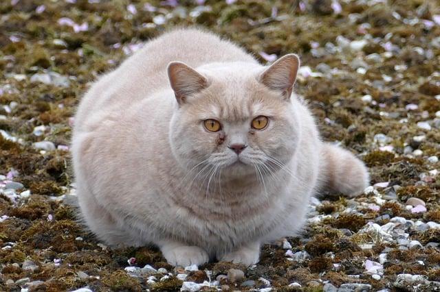 fat white cat wonders natures miracle vs petsafe