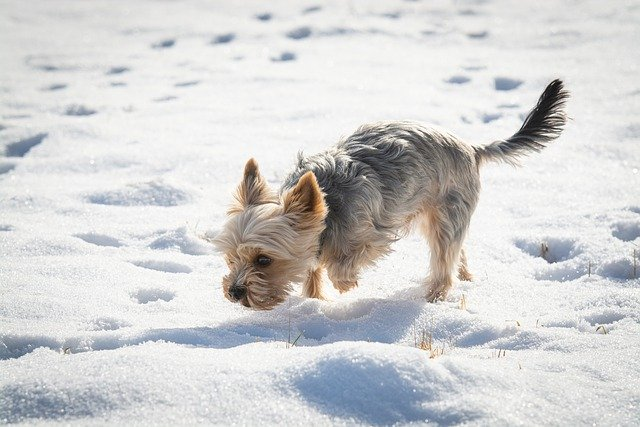 yorkie terrier sniffing in snow