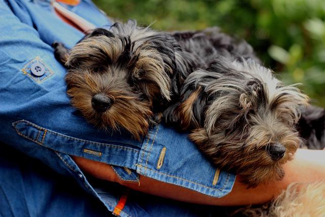 Yorkie Poo puppy sisters